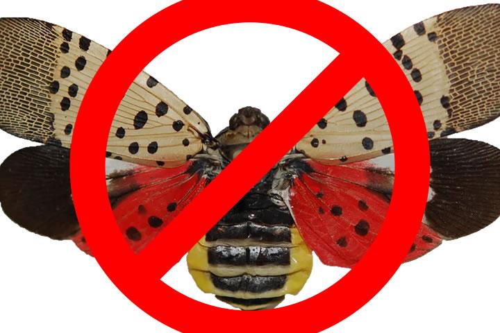 SpottedLanternfly